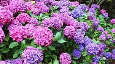 Blütenreiche Hortensien mit diesen 7 Tricks