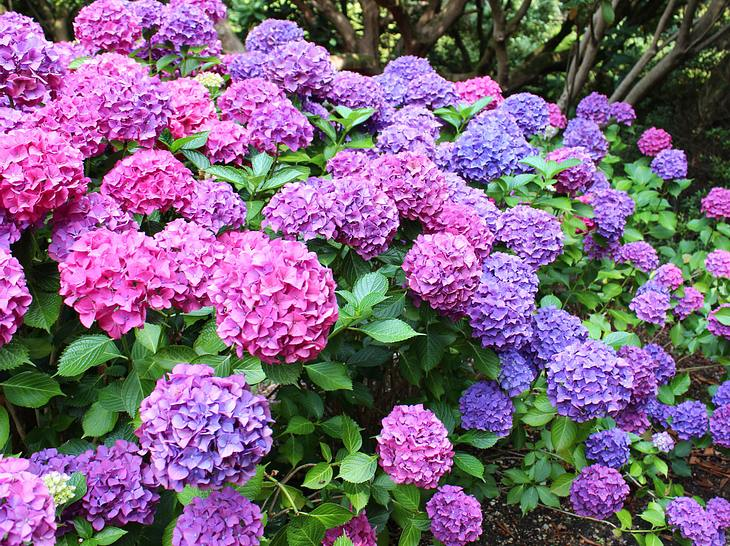 7 Tricks für blütenreiche Hortensien