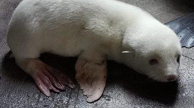 Albino-Seebärenbaby in Hagenbecks Tierpark. - Foto: Hagenbecks Tierpark