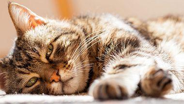 Alte Katze ruht sich aus.  - Foto: 1001slide / iStock