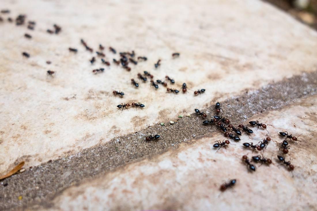 Ameisenköder