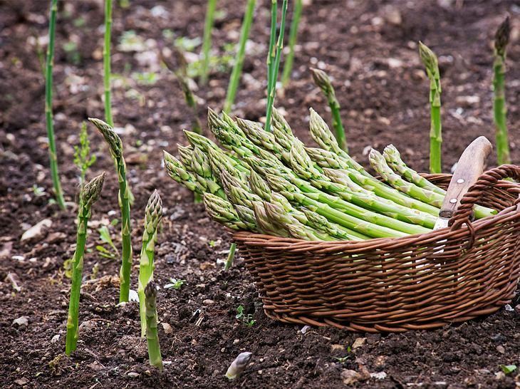 Anbau grüner Spargel