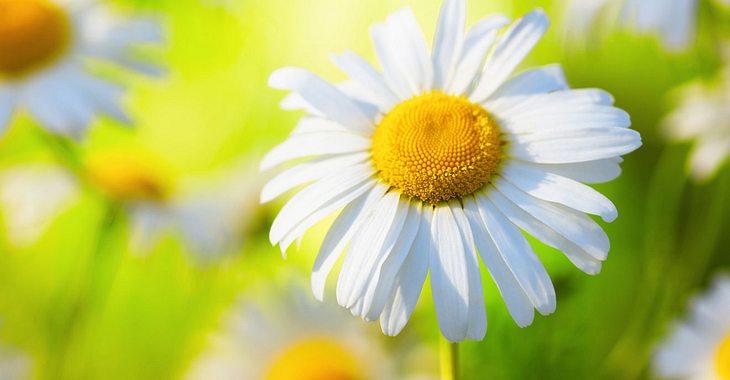 Die Geburtsblume für April ist das Gänseblümchen.