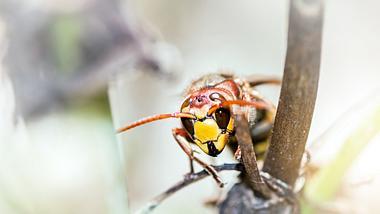 Asiatische Riesenhornisse gefährdet Bienenpopulationen