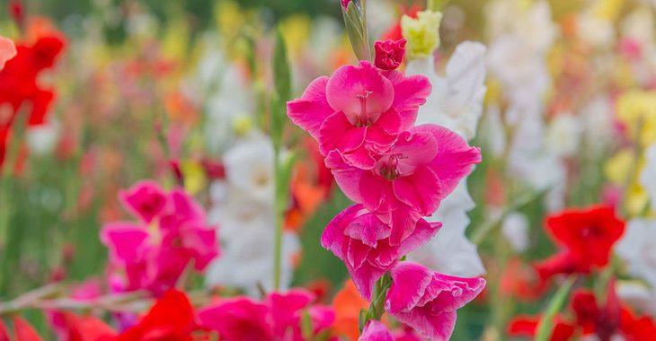 August hat die Geburtsblume Gladiole.