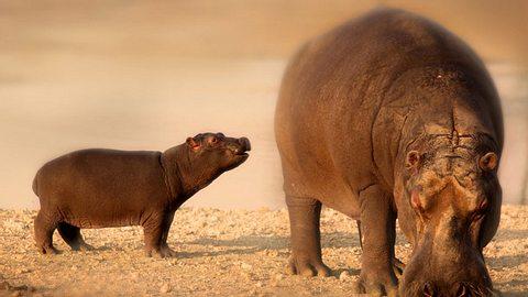 Im Zoo wurde ein Nilpferd-Baby sechs Wochen zu früh geboren.  - Foto: Waltkopp / iStock