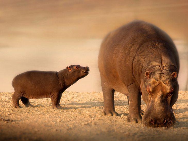 Im Zoo wurde ein Nilpferd-Baby sechs Wochen zu früh geboren.