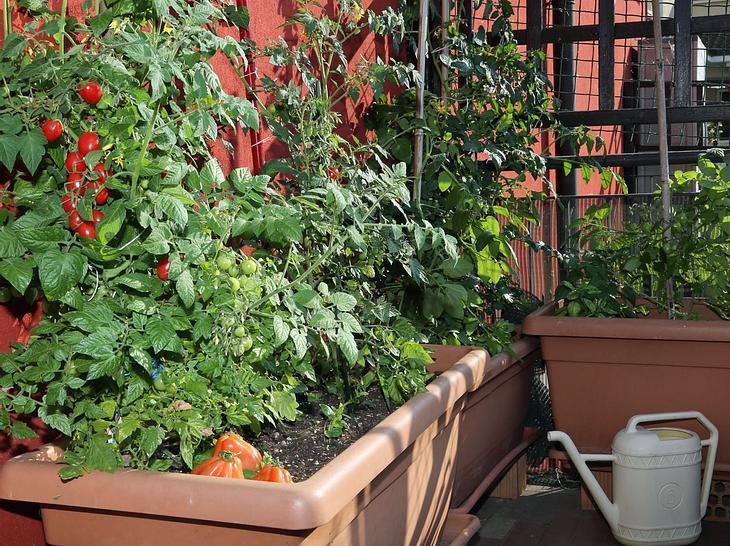 Diese 5 Gemüsesorten gedeihen auch auf dem Balkon.