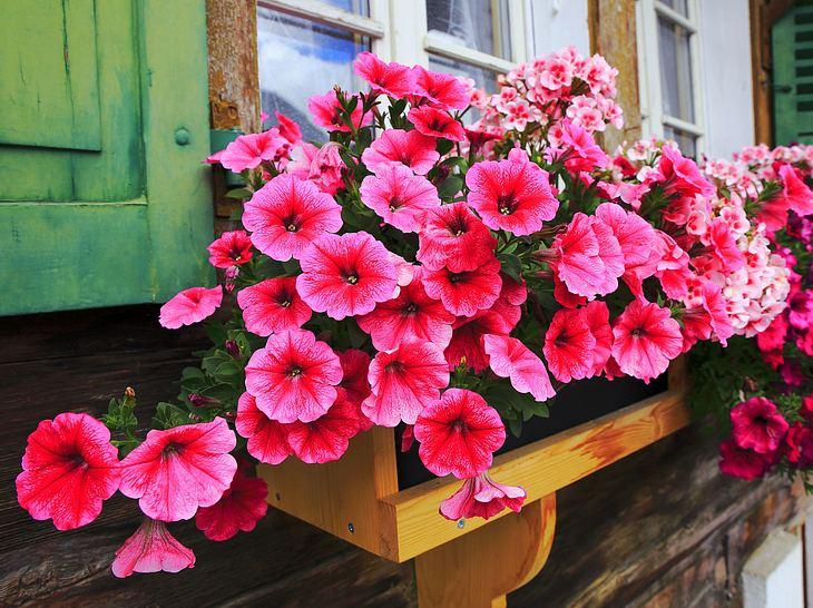 Frühlingsboten für den Balkonkasten.