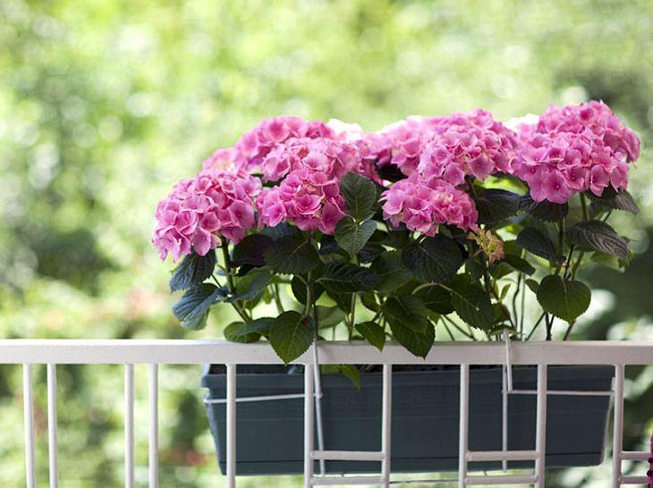 Welche Balkonpflanzen eignen sich für welchen Standort?