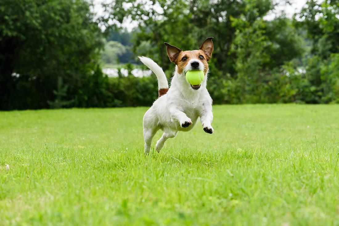 Ballwurfmaschine Hunde