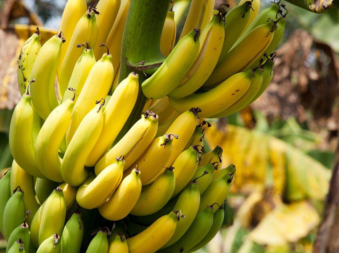 Bananen-Plantagen in Kolumbien sind von einem aggressiven Pilz befallenen.