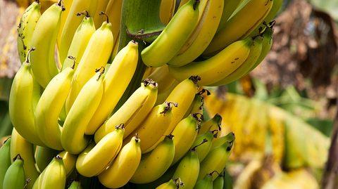 Bananen-Plantagen von Pilz befallen