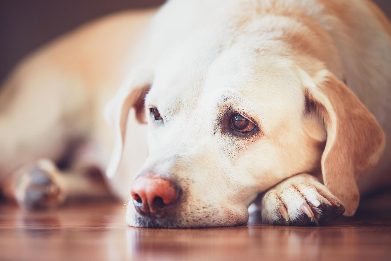 Labrador liegt schlapp auf dem Boden.