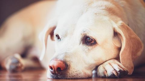Labrador liegt schlapp auf dem Boden. - Foto: Chalabala / iStock