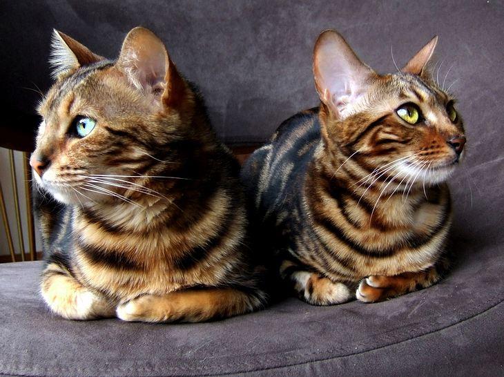 Bengal Katzen.