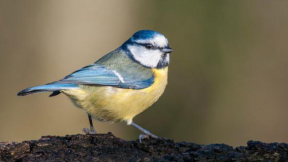 Blaumeise  - Foto: stefbennett / iStock