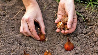 Worauf sollte ich beim Pflanzen von Blumenzwiebeln achten? - Foto: OlgaPonomarenko / iStock