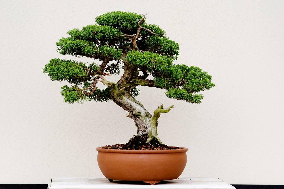 Bonsai-Baum in der Schale: Tipps zur Pflege für Einsteiger