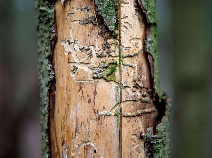 Brutsystem eines Borkenkäfers