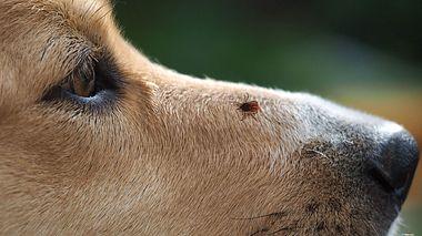 Borreliose beim Hund - Foto: kozorog / iStock