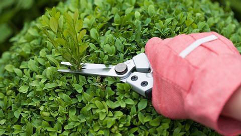 So gedeiht Ihr Buchsbaum