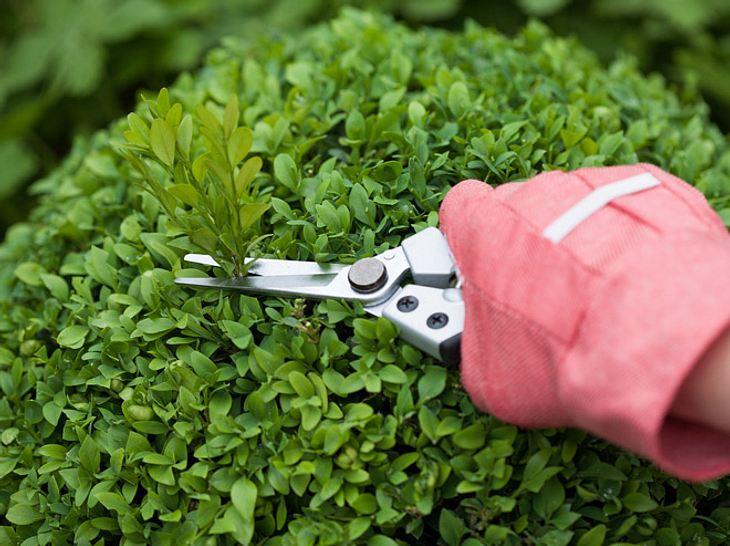 Buchsbaum schneiden und pflegen.