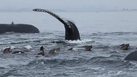 Buckelwale schützen Robben vor Orca-Angriffen - Foto: schmez / iStock