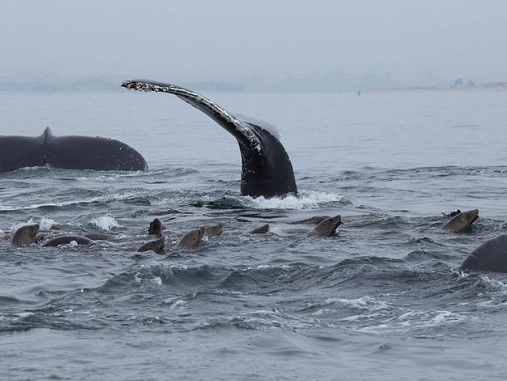Buckelwale schützen Robben vor Orca-Angriffen