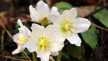 Die Christrose besticht im Winter durch ihre schönen Blüten. - Foto: lutavia / iStock
