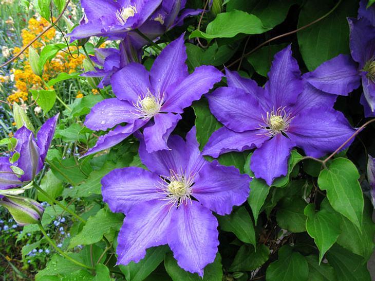 Lieblings Wie Sie Clematis richtig pflanzen und gedeihen lassen | Liebenswert &NM_15