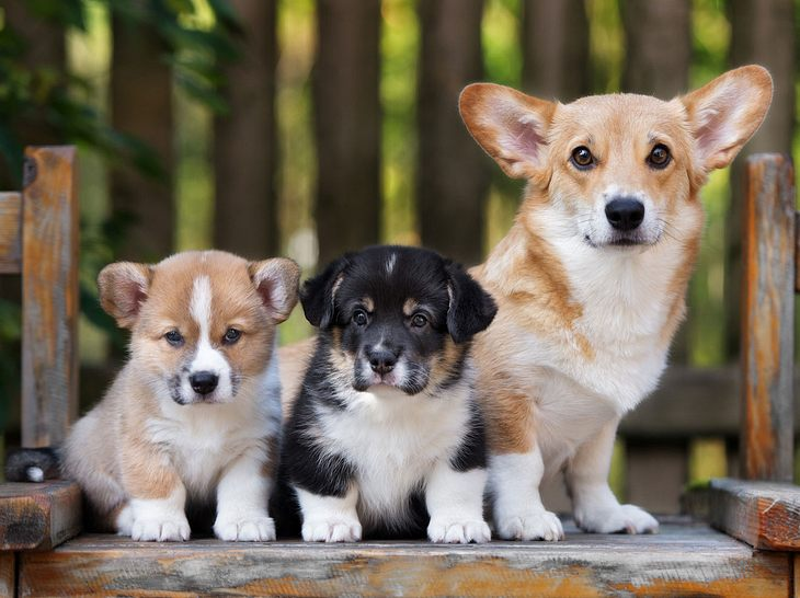 Der Welsh Corgi Pembroke ist eine von vielen tollen kleinen Hunderassen.