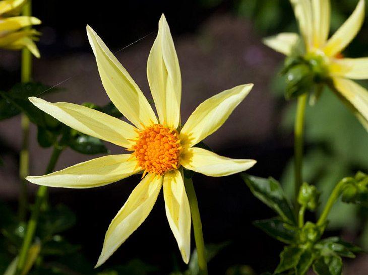 Die Dahlie Honka hat ganz besondere Blütenblätter.