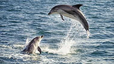 Zauberhafte Meeresbewohner: Wie Delfine sich selbst heilen - Foto: georgeclerk / iStock