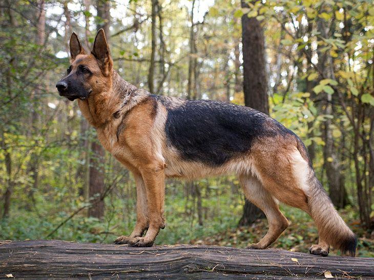 Der Deutsche Schäferhund erfreut sich großer Beliebtheit.