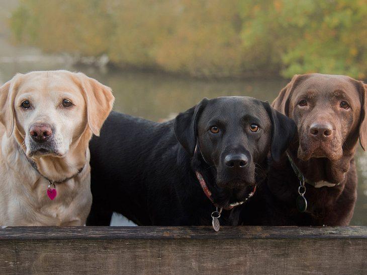 Der Labrador ist eine der beliebtesten mittelgroßen Hunderassen.