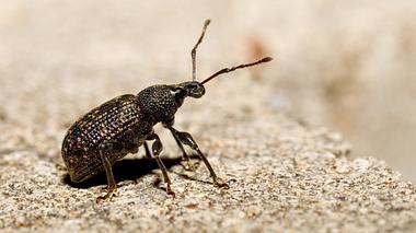 Der Dickmaulrüssler richtet große Schäden an Pflanzen an. - Foto: Artush / iStock