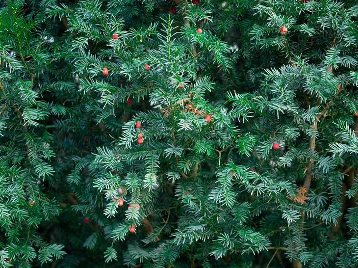 eibenhecke schneiden | hecken und büsche schneiden: thuja, buchsbaum,