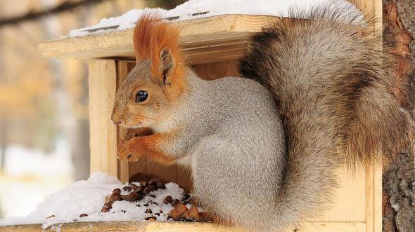 Eichhörnchen füttern: Was Sie wissen sollten - Foto: Nekan / iStock