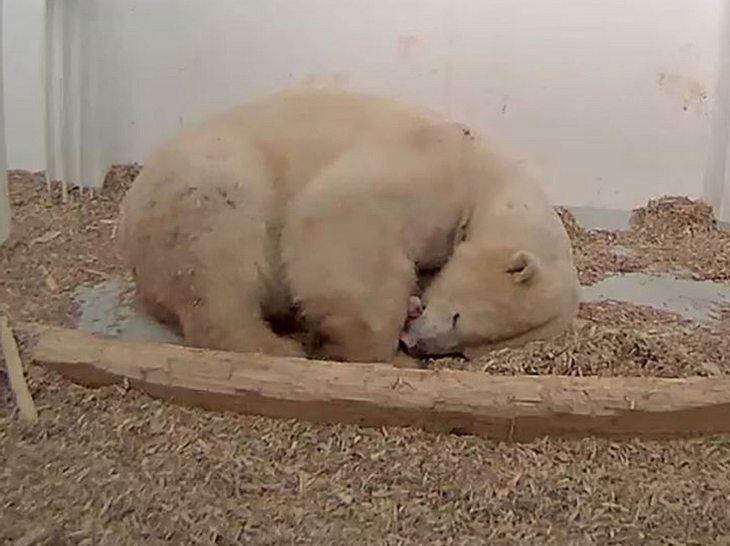 So geht es dem Eisbärbaby im Tierpark Berlin