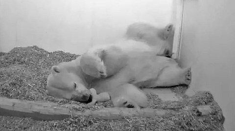Das Baby, das von Eisbärin Tonja zur Welt gebracht wurde, ist tot. - Foto: Tierpark Berlin