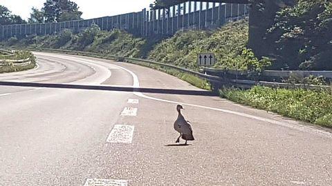 Nachdem einige ihrer Küken von einem Auto erfasst wurden, suchte eine Entenmutter auf der A3 nach Überlebenden. - Foto: Polizei Köln