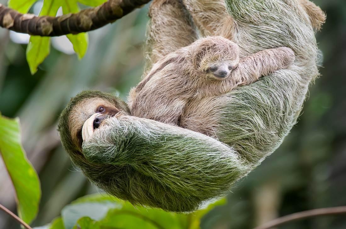 Faultier hängt mit seinem Baby an einem Ast.
