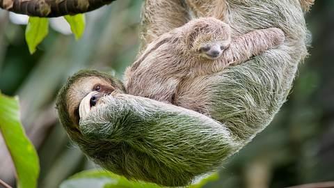 Faultier hängt mit seinem Baby an einem Ast. - Foto: KenCanning / iStock