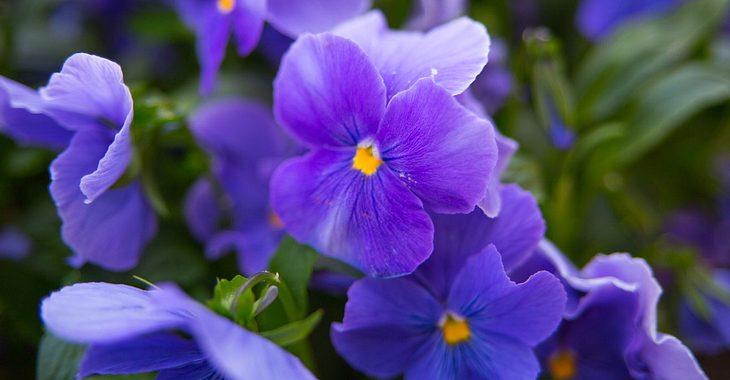Die Geburtsblume für Februar ist das Veilchen.