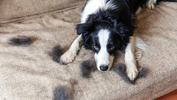 Fellwechsel beim Hund - Foto: Iuliia Zavalishina / iStock