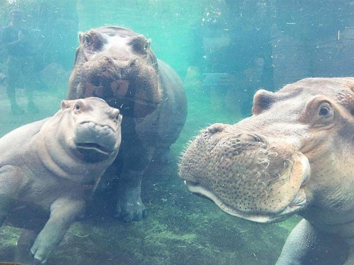 Nilpferd Fiona ist mit ihren Eltern vereint.