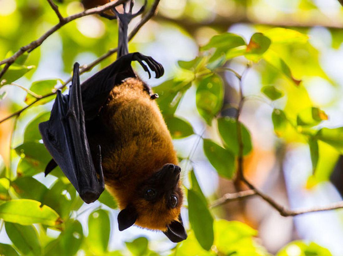 Fürsorgliche Retterin päppelt Fledermäuse und Flughunde auf