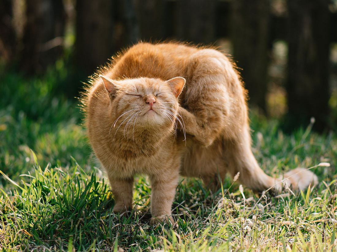 Flöhe bei Katzen erkennen und behandeln