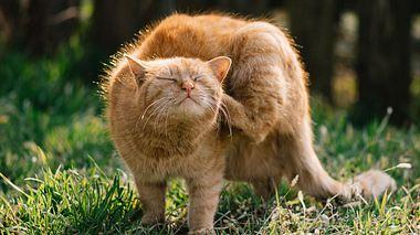 Flöhe bei Katzen erkennen und behandeln - Foto: betyarlaca / iStock